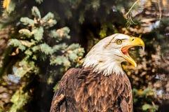Skalliga Eagle Screeches i varning Fotografering för Bildbyråer