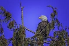 Skalliga Eagle som är mogen royaltyfri bild