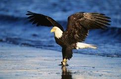 Skalliga Eagle som fångar fisken i floden Royaltyfria Foton