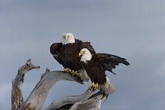 Skalliga Eagle som sätta sig på drivved, Homer Alaska Royaltyfri Foto