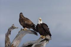 Skalliga Eagle som sätta sig på drivved, Homer Alaska Arkivbilder