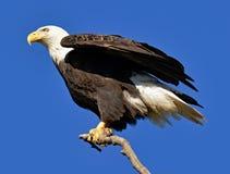 Skalliga Eagle Strikes poserar royaltyfri fotografi