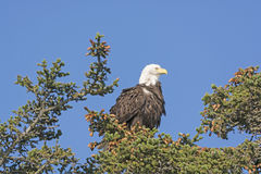 Skalliga Eagle Watching landskapet royaltyfri foto
