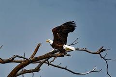 Skalliga Eagle Wings Up Royaltyfria Foton