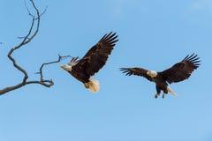 Skalliga Eagles i flykten fotografering för bildbyråer