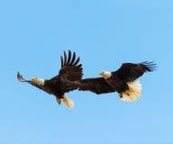 Skalliga Eagles i flykten royaltyfria bilder