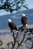 Skalliga Eagles sammanträde i ett träd (Haliaeetusleucocephalus) Oregon royaltyfria foton