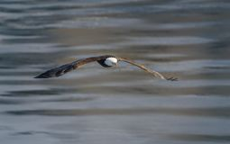 skalligt örnflyg royaltyfri bild