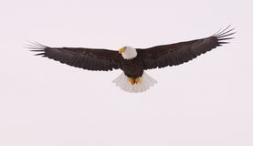 skalligt örnflyg royaltyfria foton