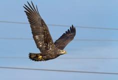 skalligt örnflyg Royaltyfri Fotografi