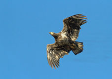skalligt örnflyg Arkivfoton