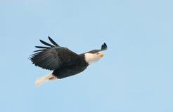 skalligt örnflyg fotografering för bildbyråer