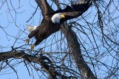 skalligt örnflyg för american Arkivbild