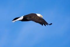 skalligt örnflyg för american Royaltyfri Fotografi
