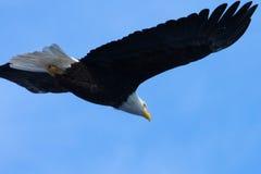skalligt örnflyg för american Royaltyfri Bild