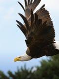 skalligt örnflyg för american Royaltyfria Bilder