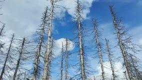Skalligt barrträd Royaltyfria Bilder