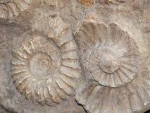 Skamielina Scapithes amonite zakłada w Maroko, afryka pólnocna Obraz Stock