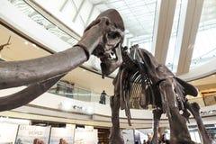 skamieniały mamut Zdjęcia Royalty Free