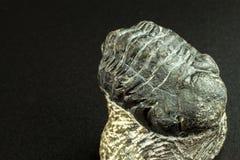 Skamieniały trylobitu odcisk w cedziny Odcisk historia Skamieniały trylobit w skale Fotografia Royalty Free