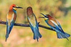 Skandal av tre fåglar som sitter på en filial arkivfoton