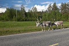 Skandinavisch Rendier stock fotografie