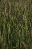 Skandinavischer Weizen Lizenzfreies Stockbild