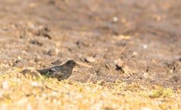 Skandinavisk Blackbird Fotografering för Bildbyråer