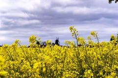 Skans Suède de bracke de Rapsseedfield Photo libre de droits