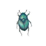 Skarab beetle Stock Photo