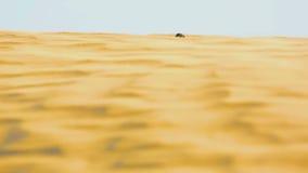 Skarabeusz ściga w pustyni zdjęcie wideo