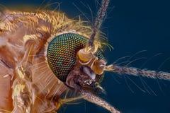 skarp study för detaljerad extrem head mygga Fotografering för Bildbyråer