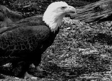 Skarpa Eagle Eye Arkivbilder