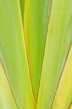 Skarpa spetsiga agaveväxtsidor arkivbild