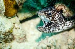 Skarpa tänder i öppen mun av den svartvita prickiga pufferen fiskar och att dölja under korall på reven i karibiskt Royaltyfri Bild