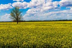 Skarpt brett vinkelskott av det härliga ljusa gula blomningfältet av Canolaväxter med moln och blå himmel. Royaltyfri Bild