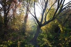 Skaryboom in het bos Stock Afbeeldingen