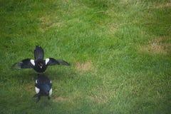 Skata som söker efter mat på en gräsmatta med dess hungriga tonåring fotografering för bildbyråer