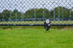 Skatafågelanseende på grönt gräs fotografering för bildbyråer