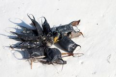 Skate Egg Cases Royalty Free Stock Images