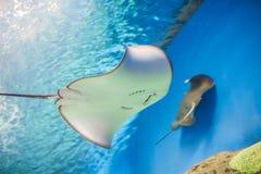 Skate stingray aquarium royalty free stock image