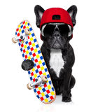 Skateboard skater dog. French bulldog dog, as a skater with red cap and skateboard, isolated on white background royalty free stock photos