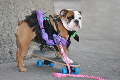 Skateboarding Ballerina Bulldog Royalty Free Stock Images
