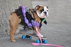 Skateboarding Ballerina-Bulldogge Lizenzfreie Stockbilder