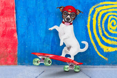 Skater boy dog. Jack russell skater dog with red cap ready to play, balancing on red skateboard, behind a wall with colors on the street outdoors royalty free stock photo