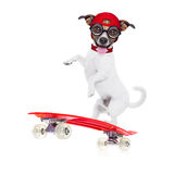 Skater boy dog. Jack russell skater dog with red cap ready to play, balancing on red skateboard, isolated on white background royalty free stock photo