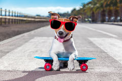 Skater dog on skateboard. Jack russell terrier dog riding a skateboard as a skater , with sunglasses in summer vacation close to the beach stock photo