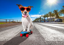 Skater dog on skateboard. Jack russell terrier dog riding a skateboard as a skater , with sunglasses in summer vacation close to the beach stock photography