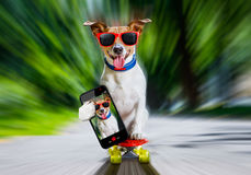 Skater dog on skateboard. Jack russell terrier dog riding very fast with speed a skateboard as skater , with sunglasses in summer vacation, taking a selfie with stock photography