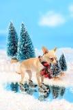 Skating chihuahua dog Royalty Free Stock Photos
